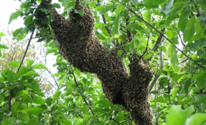 Bees swarming a tree