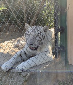 Miracle the White Tiger