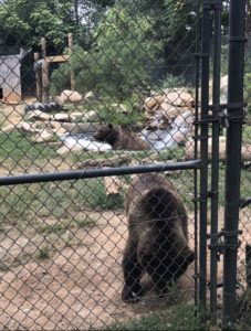 Syrian Brown Bears. Found in the Asian area at Tiger World