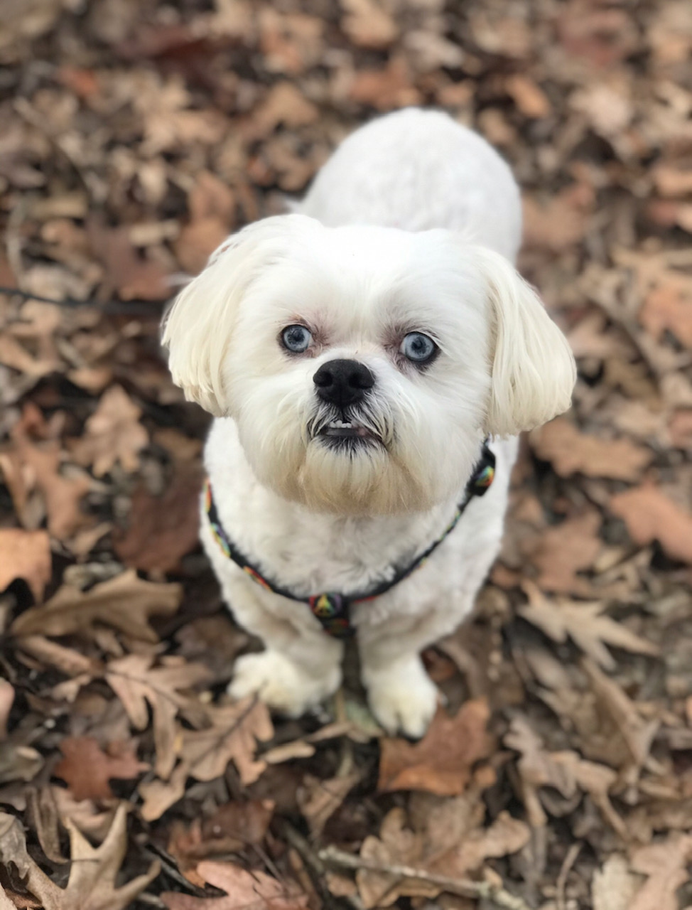 Small white dog with harness